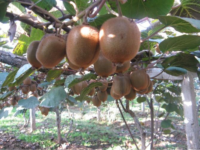 网红带动猕猴桃销售,科学检测种植带动绿色种植