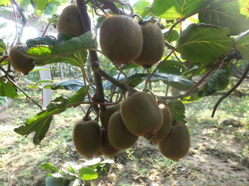 预售,批发周至猕猴桃家庭农场绿色猕猴桃